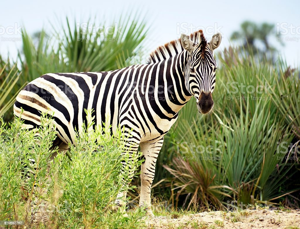 Burchell's zebra in Okavango delta,Botswana stock photo