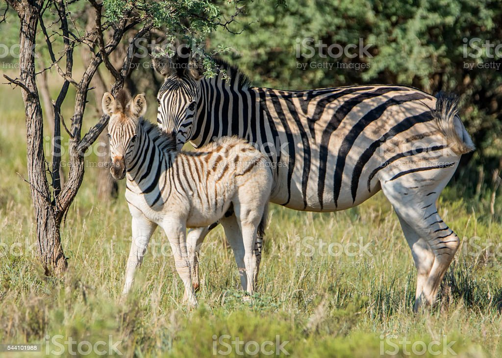 Burchell's Zebra Mother And Foal stock photo