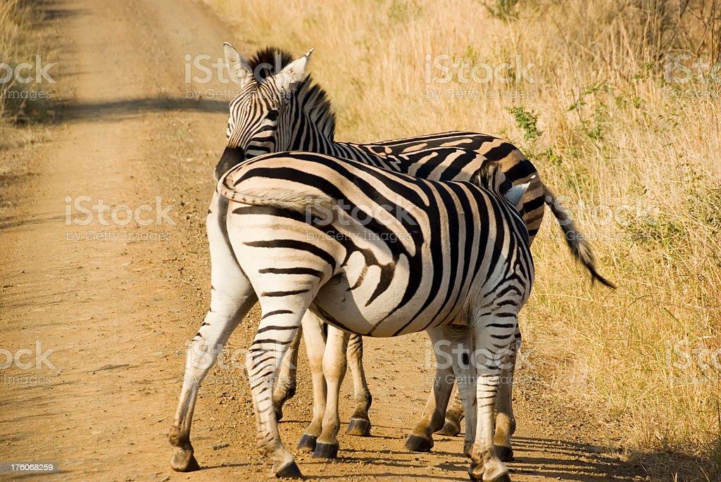 Burchell's Zebra (Equus burchellii) on the Road foto