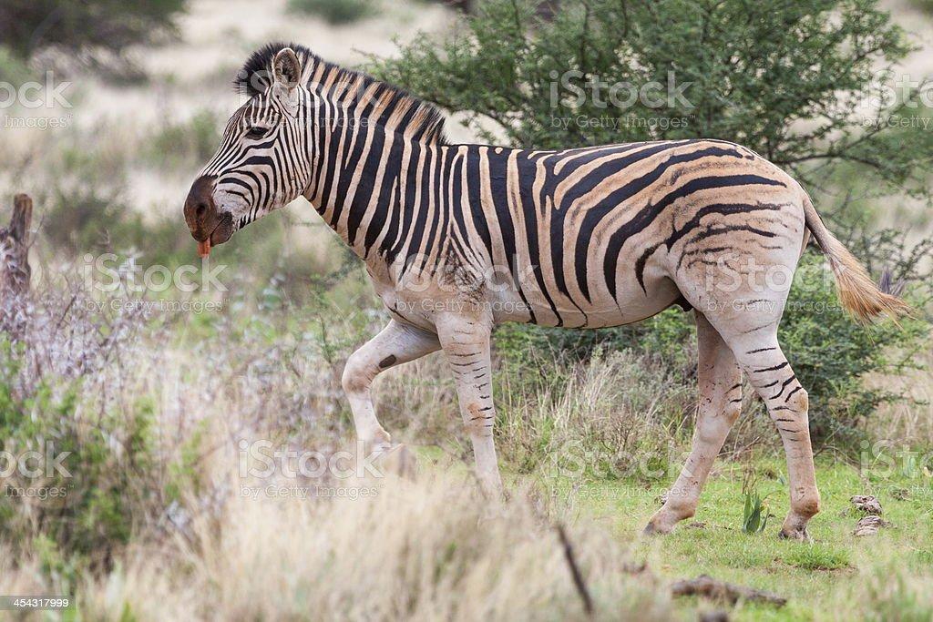 Burchell's Zebra stock photo