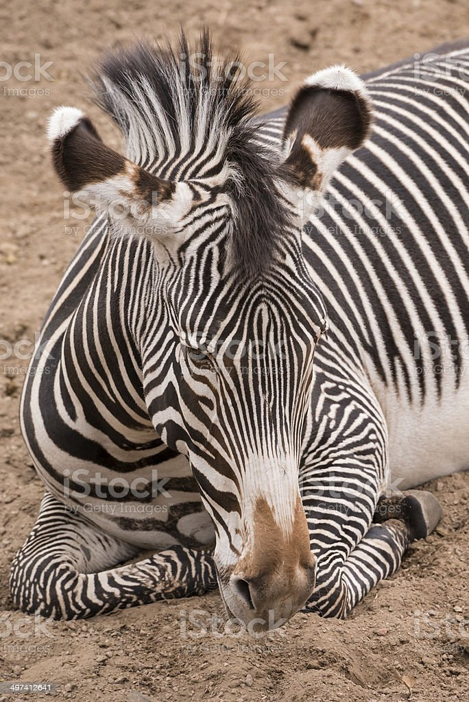 Burchells Zebra stock photo