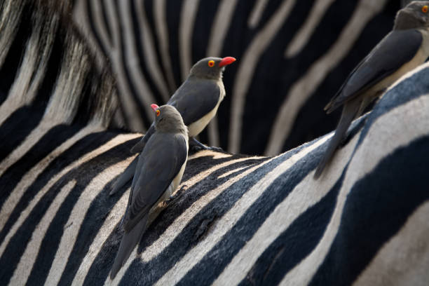 Burchell's Zebra Red-Billed Oxpeckers perched on the back of a Burchell's Zebra symbiotic relationship stock pictures, royalty-free photos & images