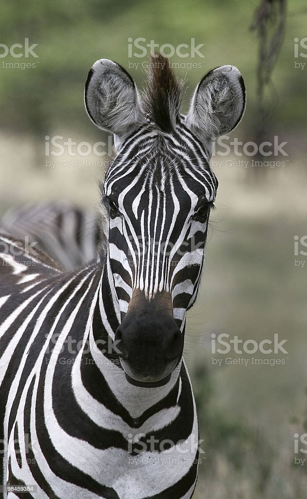Burchell's zebra (Equus burchelli) royalty-free stock photo