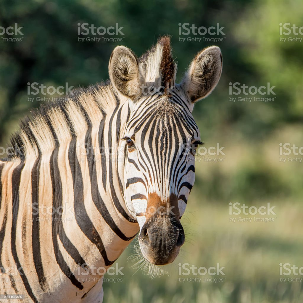Burchell's Zebra Portrait stock photo