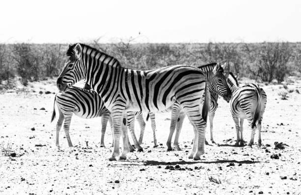 Burchills Plains Zebra stock photo