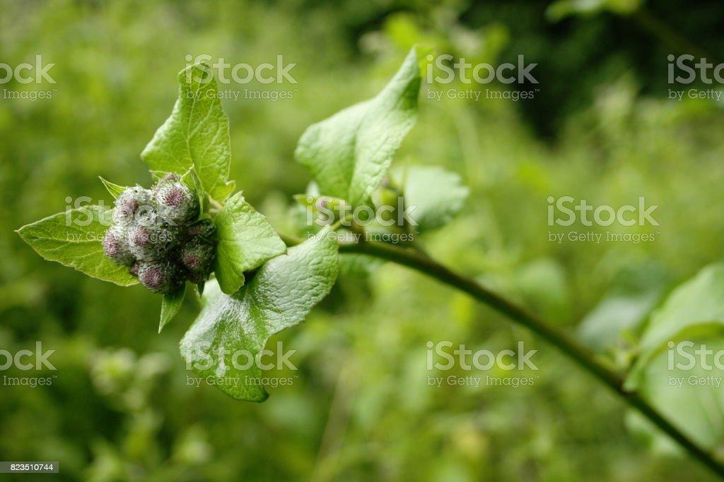 Burdock blossom stock photo