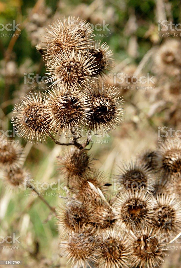 Burdock Bush stock photo