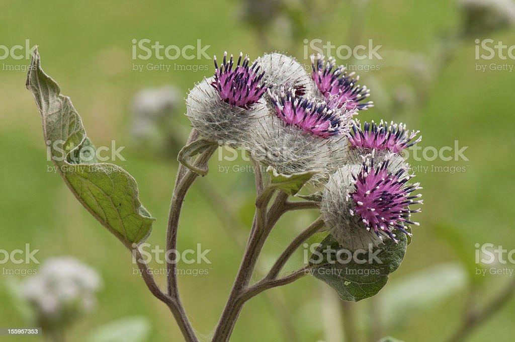burdock fiori - foto stock