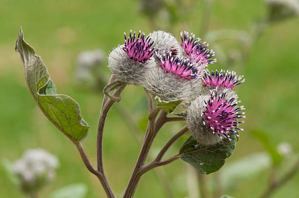burdock fleurs - Photo