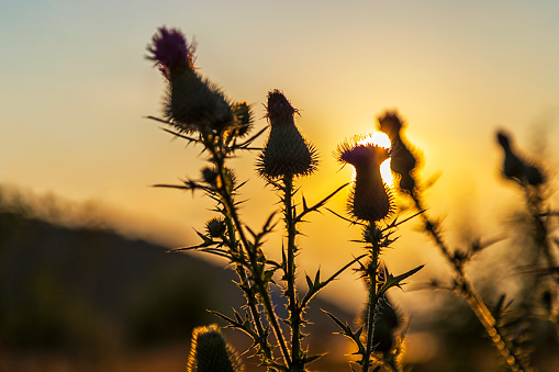 Burdock flowers with sunset sun beams