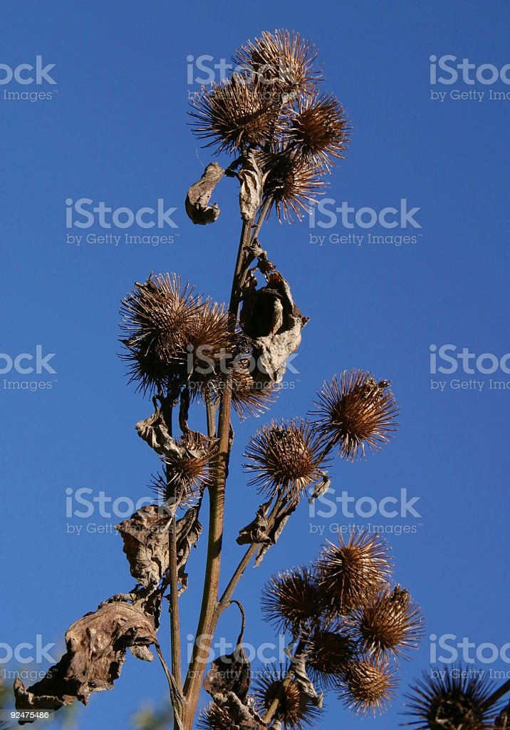 Burdock Plant royalty-free stock photo