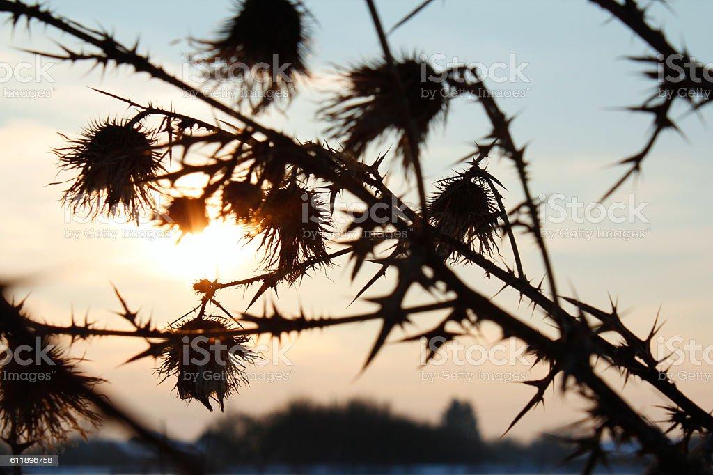 Burdock shadow silhouette full of thorn on dusk sunset background stock photo