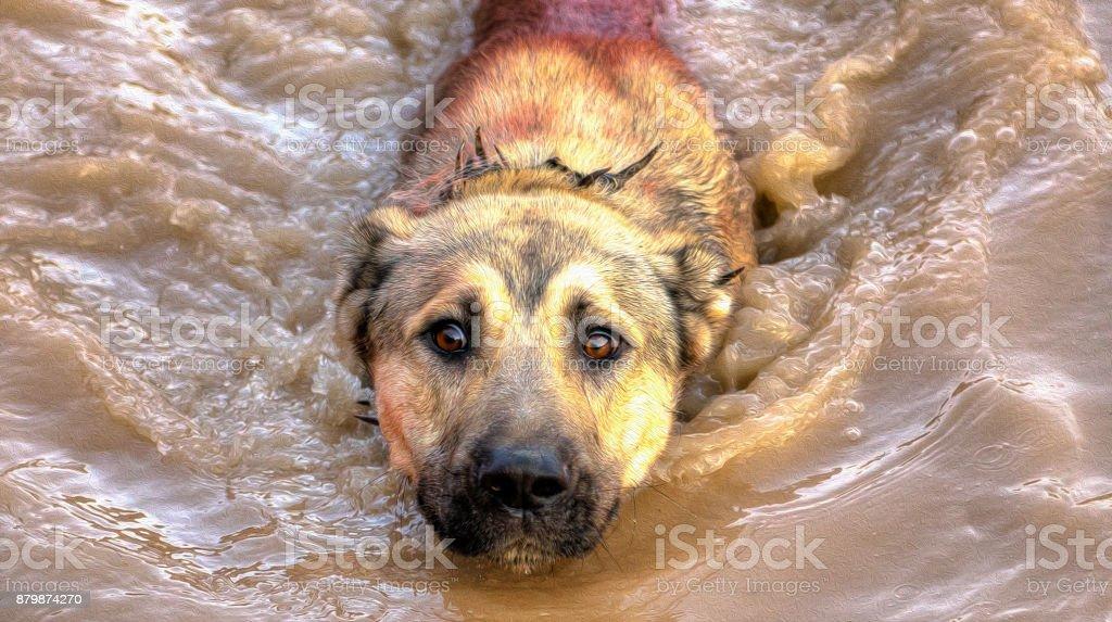 Burdur - Turkey. August 31, 2014.Shepherd's dog stock photo
