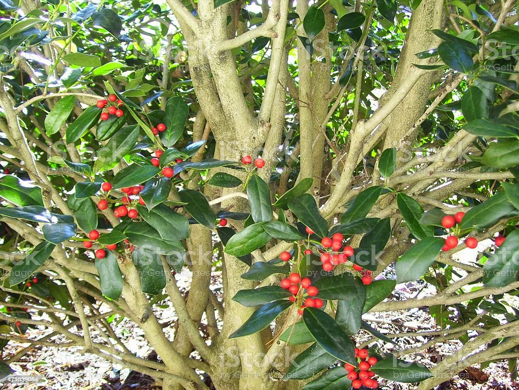 Burford Holly Tree with Red Berries stock photo