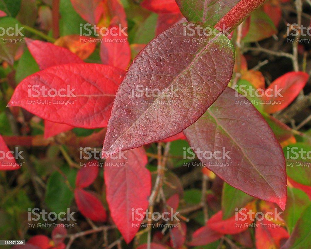 Burgendy Leaf stock photo