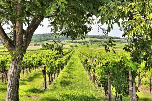 Burgenland wine land stock photo