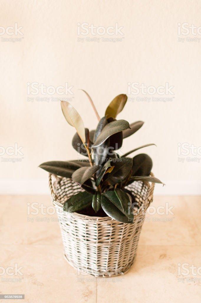 Planta de borracha Ficus Borgonha - foto de acervo