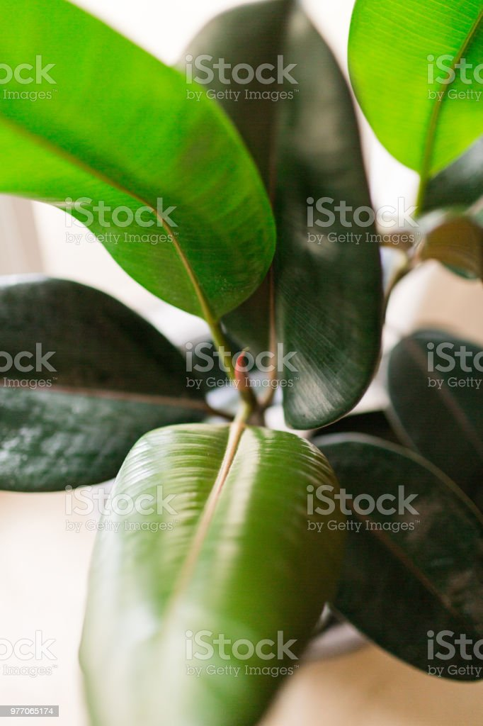 Burgundy Ficus Rubber Plant stock photo