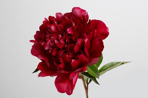 istock Burgundy peony flower isolated on gray background. 694835732