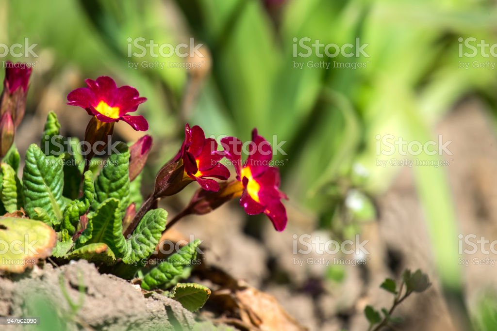 Burgundy primrose flowers (Primula vulgaris) stock photo