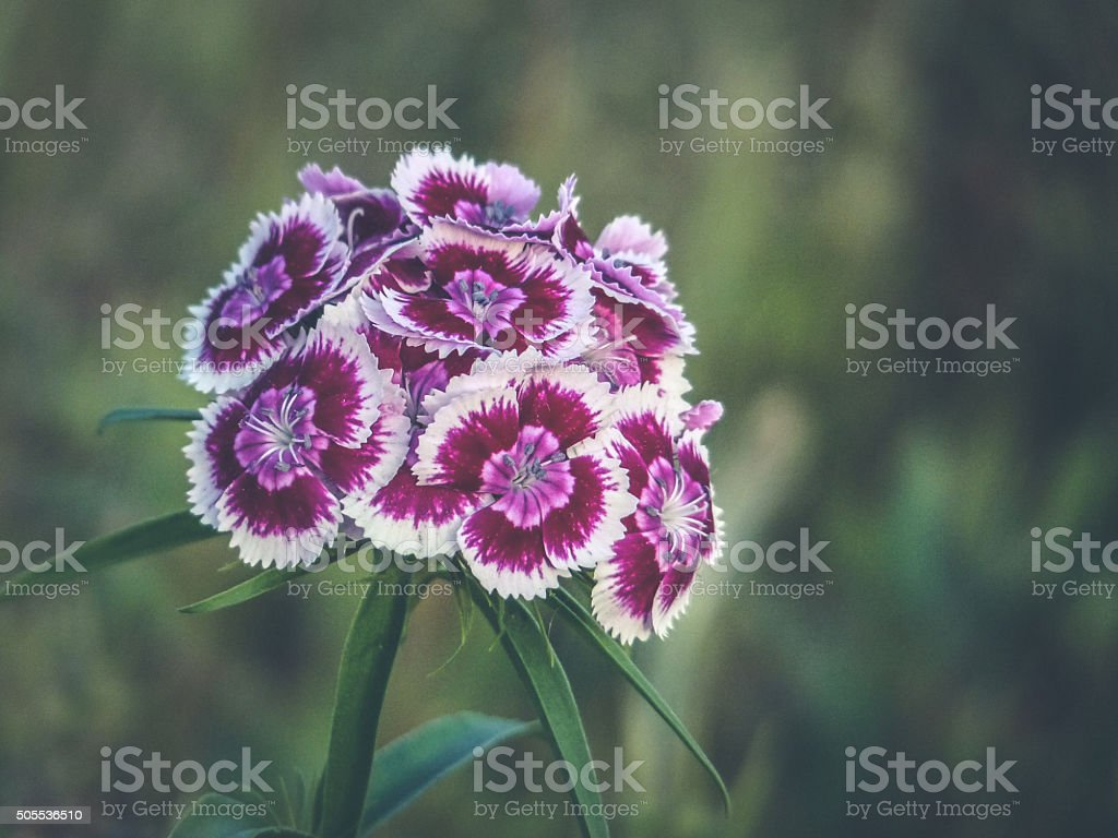 Burgundy Purple Pink White Sweet William Flowers In A Meadow Stock