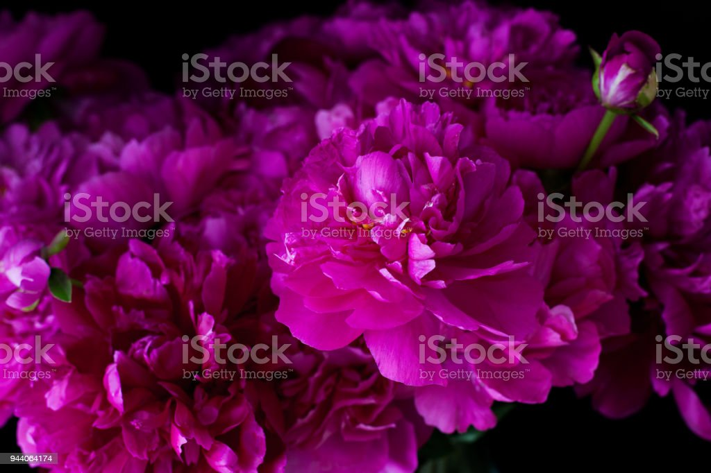 burgundy, red, bright red peonies - bouquet on a black background stock photo