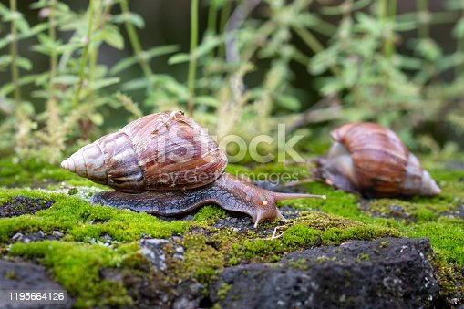 Two burgundy snails in a tropical forest