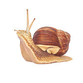 istock Burgundy Snail On A White Background. Isolated. Helix pomatia - burgundy snail, Roman snail, edible snail, grapel, escargot. 1315195394