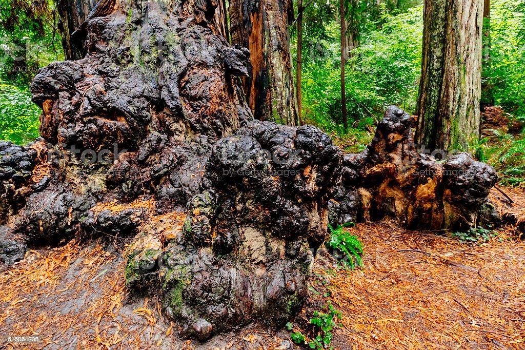 Burl on tree, Jedediah Smith Redwoods State Park, CA. stock photo