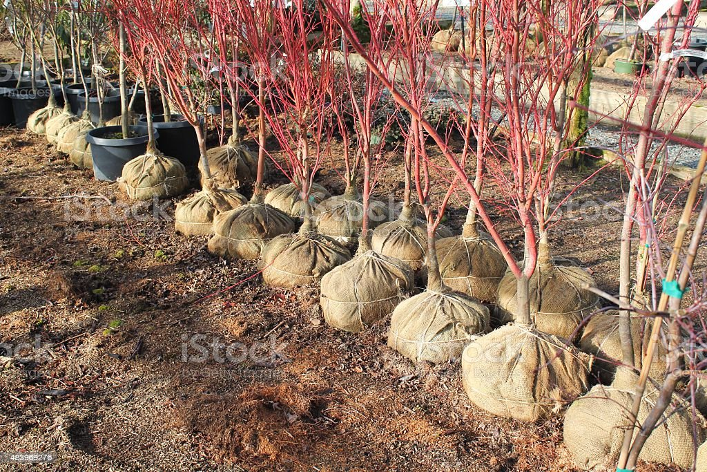Burlap-balled trees ready for spring planting stock photo