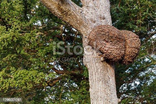 Burls on trees