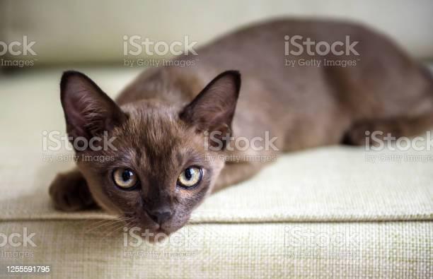 Burma cat lying on coach cute brown burmese kitten looking at camera picture id1255591795?b=1&k=6&m=1255591795&s=612x612&h=yl0zcjb15ogm7olsjn0e9t34g5vqzl5mcjcr4avo9hc=