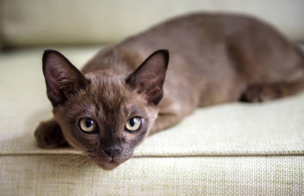 Burma cat lying on coach cute brown burmese kitten looking at camera picture id1255591795?b=1&k=6&m=1255591795&s=612x612&w=0&h=zxk7h3pkpupahgd ozhc3r5levqx7c5e2hmzfgq7bdm=