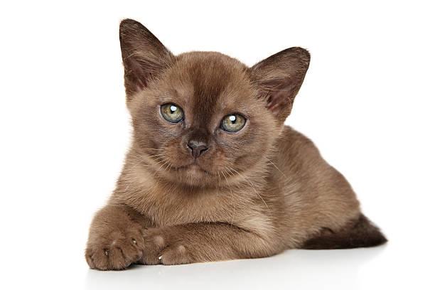 Burma cat picture id608004580?b=1&k=6&m=608004580&s=612x612&w=0&h=rmhwq1jh5ih2gynyy1zigvvqx0k hyepycbqnicp4vc=