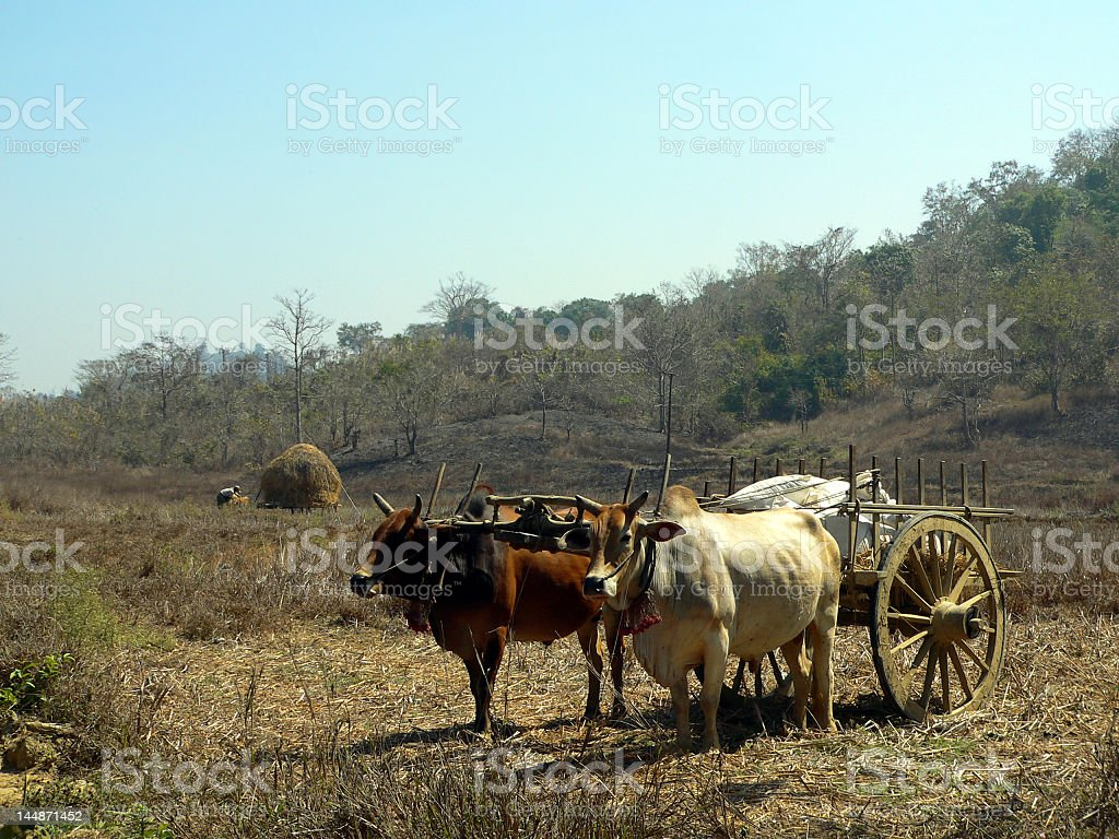 Burma. Farm Transportation stock photo