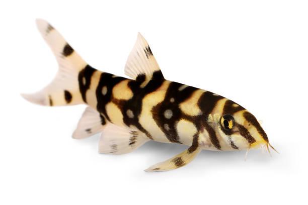 Burmese border loach catfish polka dot loach botia kubotai aquarium picture id898983278?b=1&k=6&m=898983278&s=612x612&w=0&h=cb01ndp66hrsmtt89ih eeiuqe96b6ai7xppsu5 pnm=