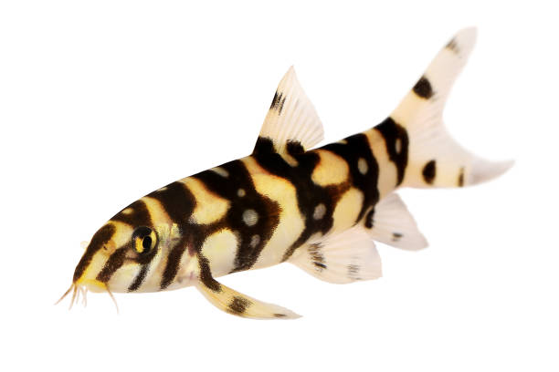 Burmese border loach catfish polka dot loach botia kubotai aquarium picture id915540792?b=1&k=6&m=915540792&s=612x612&w=0&h=aulhvanyg0 pbmfi3hnmlyesk tojox4y8knqdgauya=