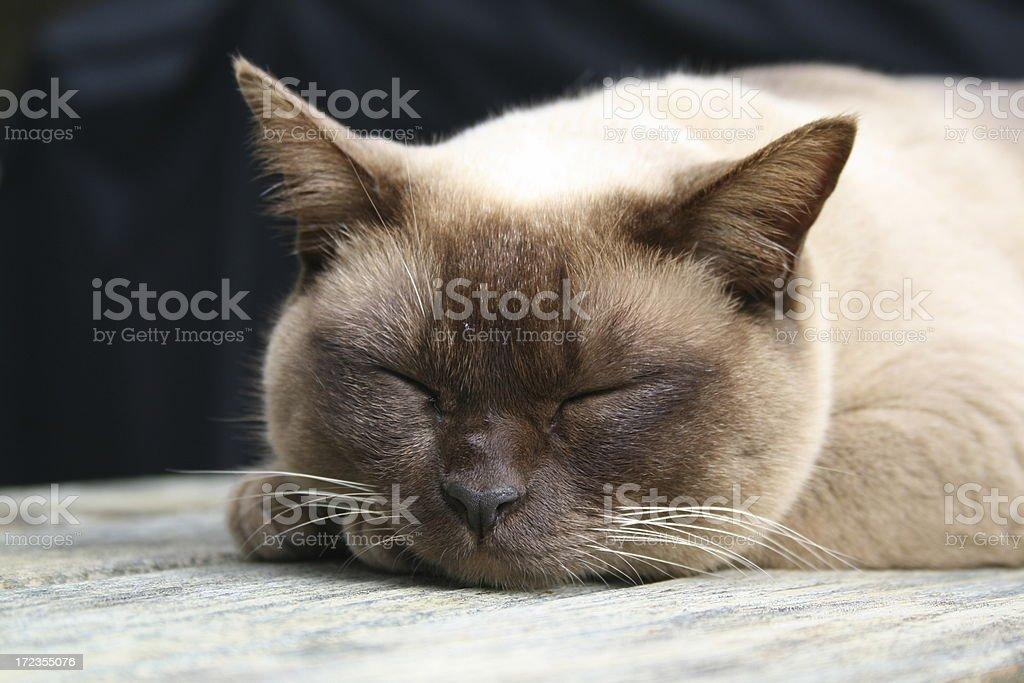 Burmese Cat asleep on a deck royalty-free stock photo