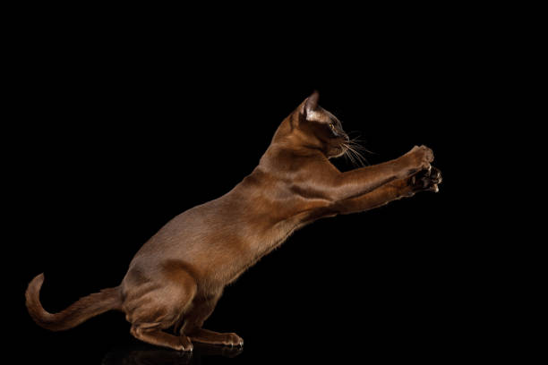 Burmese cat isolated on black background picture id876887012?b=1&k=6&m=876887012&s=612x612&w=0&h=bmfcqxhsbxn7 8mhf3p4 aef85  l3s3h1esmuzfczi=