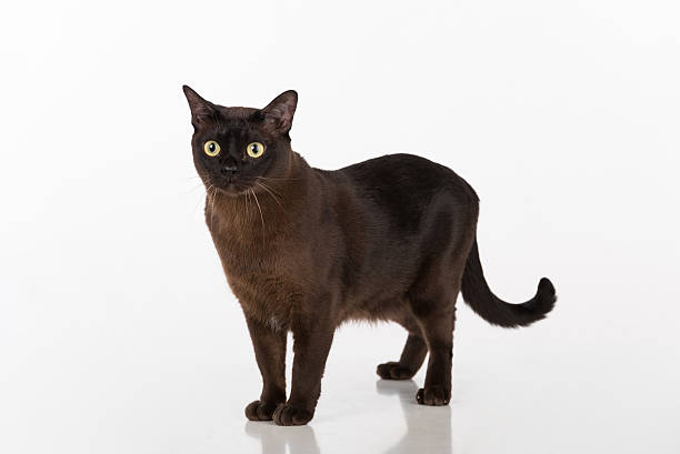 Burmese cat on the white background stock photo