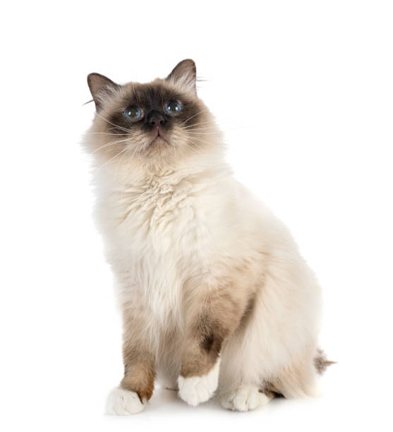 Burmese cat picture id1223131003?b=1&k=6&m=1223131003&s=612x612&w=0&h=dx4wakvsfav wnf4rgyqlhd8bd3mtg5pobjmvwvhlpg=