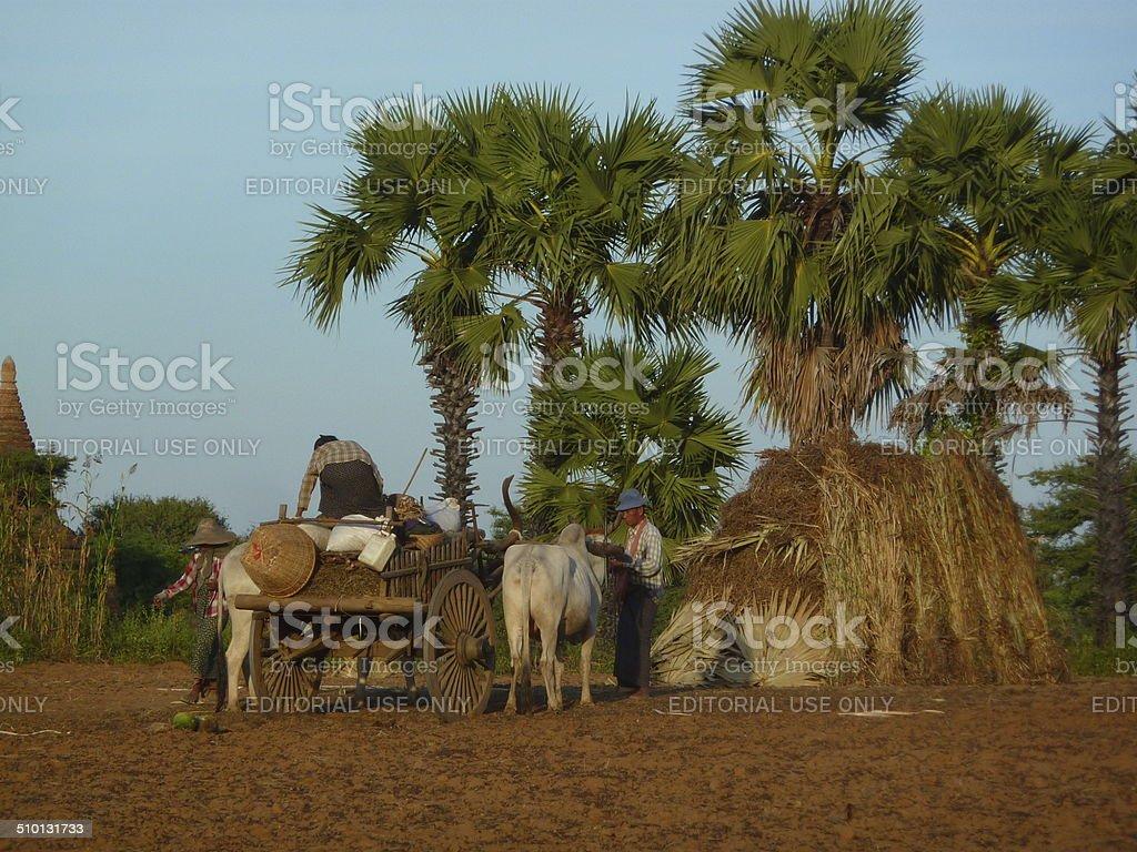 Burmese farmers with their ox cart stock photo