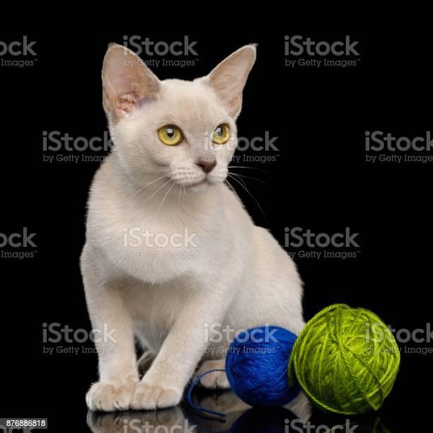 Burmese kitten isolated on black background picture id876886818?b=1&k=6&m=876886818&s=612x612&h=0bk qdtbowbxr0cv by2yhb pvwxvvy zxlrzxwsquw=