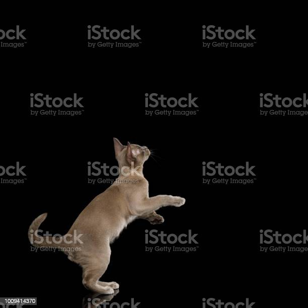 Burmese kitten on isolated black background picture id1009414370?b=1&k=6&m=1009414370&s=612x612&h=5mu8rkklllnwgsgswzartfd325ux1 6r0acysysv6x0=