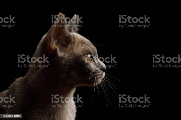 Burmese kitten on isolated black background picture id1009414584?b=1&k=6&m=1009414584&s=612x612&h=jyezaz7rbfl6bpwkhrvoa3tz5zkf0ioui6woeyqbhvk=