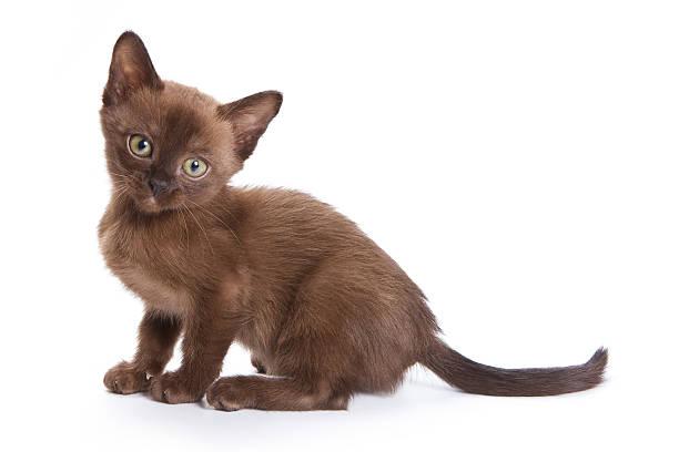 Burmese kitten on white background picture id148231694?b=1&k=6&m=148231694&s=612x612&w=0&h=z kdvqxhvmiwd12zuklrj69qt5gaxl2dlnqqr5g2h5i=