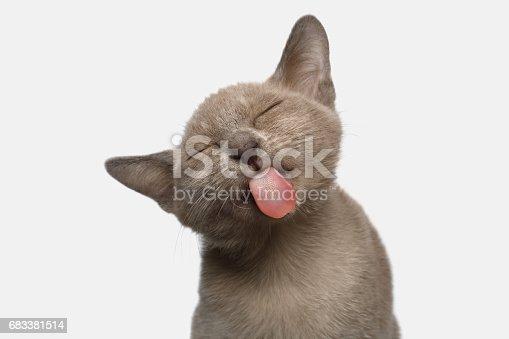 istock Burmese Kitten on White Background 683381514