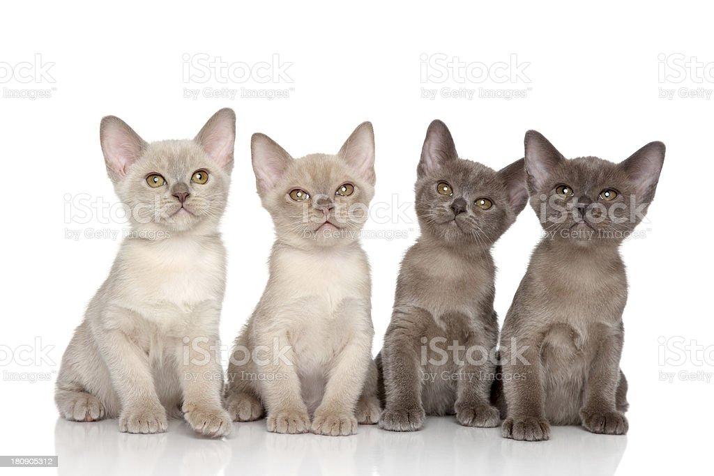 Burmese kittens royalty-free stock photo