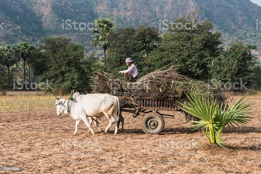 Burmese man on oxcart in dry field, Bagan region, Myanmar stock photo