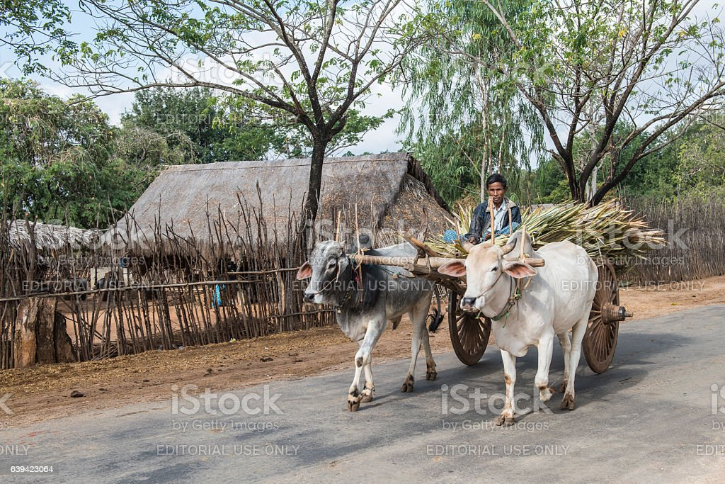 Burmese man on oxcart with sugarcane, Myanmar stock photo